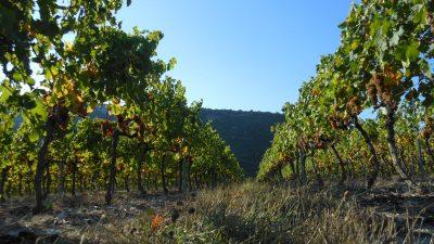 Viognier d'Ardèche : la sensation estivale